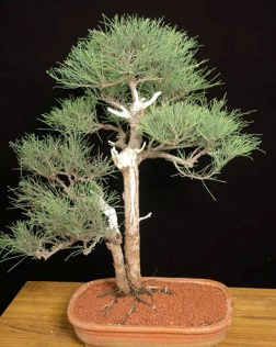 Casurina Bonsai Tree Pune