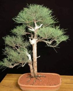 Casurina Bonsai Tree Pune