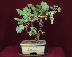 Grape Bonsai Tree Pune