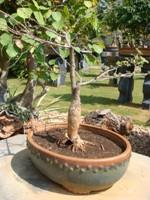 Bonsai Prospis Specigera