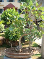 Buteamonosperma Bonsai Tree