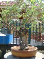 Bonsai Tree Gliricidia Sepium
