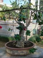 Bonsai Hibiscus Tree