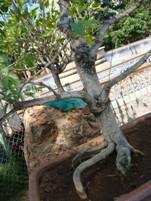 Bonsai Wiring Calliandra Plant
