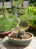 Acacia Catechu Bonsai Tree