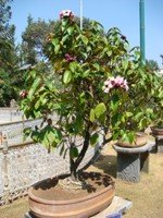 Almonda Bonsai Tree