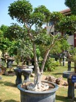 Bonsai Tree Design