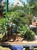 Bonsai Tree Ficus Hawaii