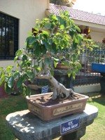 Bonsai Tree Ficus Lacor