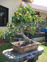 Bonsai Tree Ficus Lacor