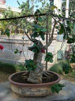 Bonsai Hibiscus Tree