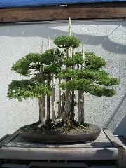 type of bonsai tree