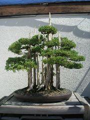 type of bonsai tree